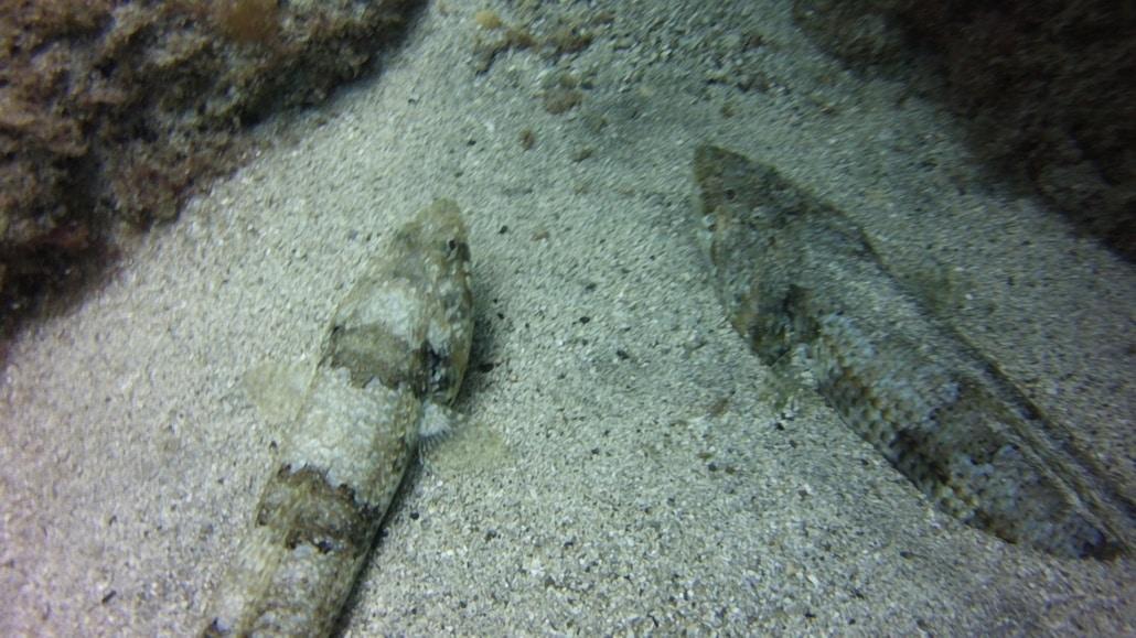 Lagarto de mar